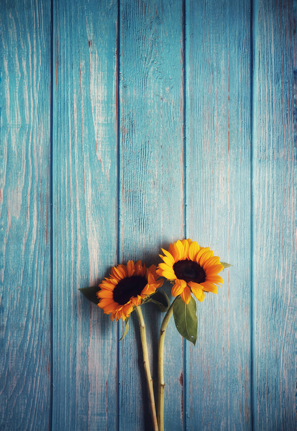 two sunflowers on a blue wood background